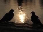 Любовь и голуби)