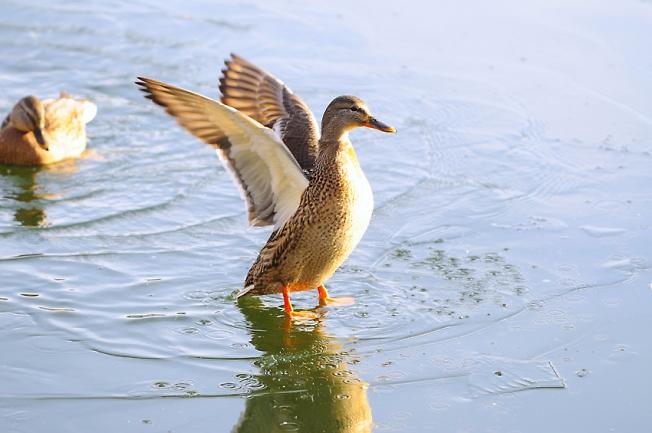 *** Duck