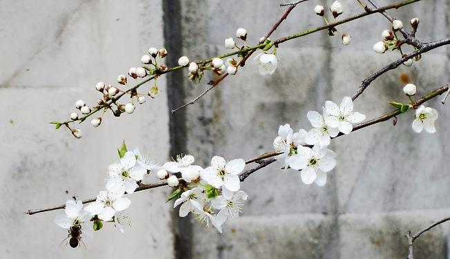 «Расцвела под окошком белоснежная вишня»