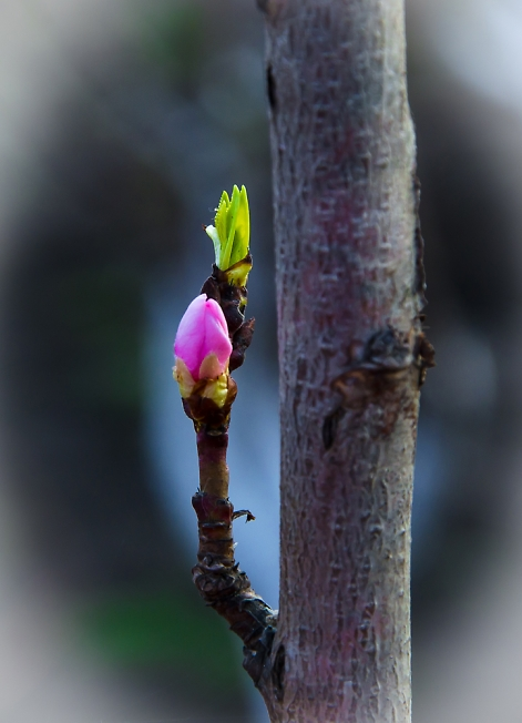 Персик зацвёл