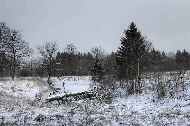 Дубки зимой
