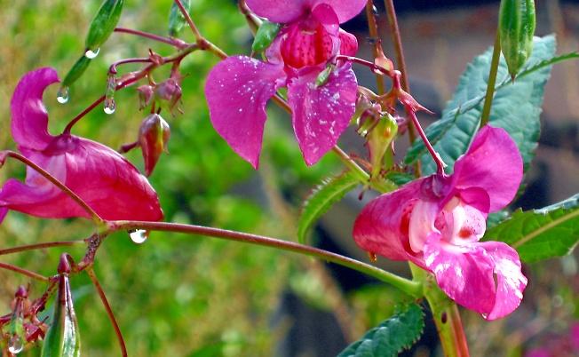 Капли дождя-как капли росы..