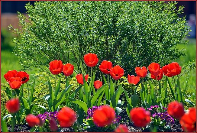 Хотьковские тюльпаны