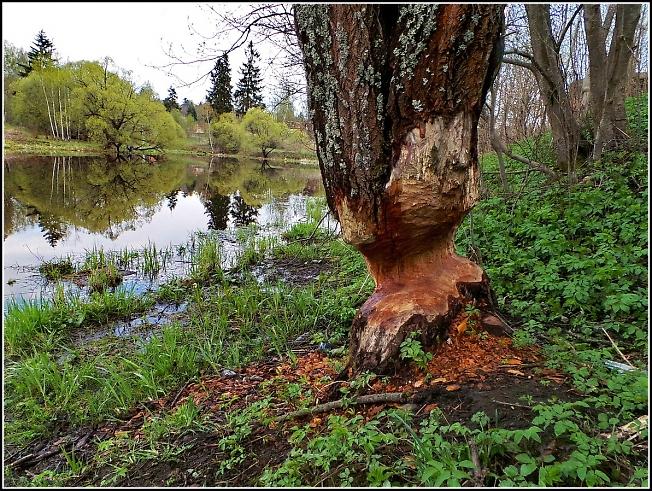 Жило, было дерево. Пришли бобры....