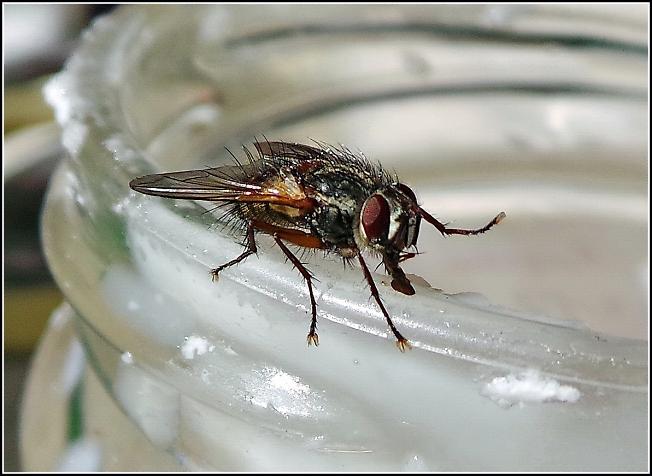 Лесная муха угощается сгущенкой на Лесном озере. Впервые в жизни! :)