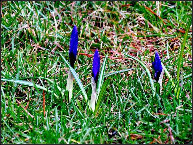 Синие крокусы расцвели для милых женщин