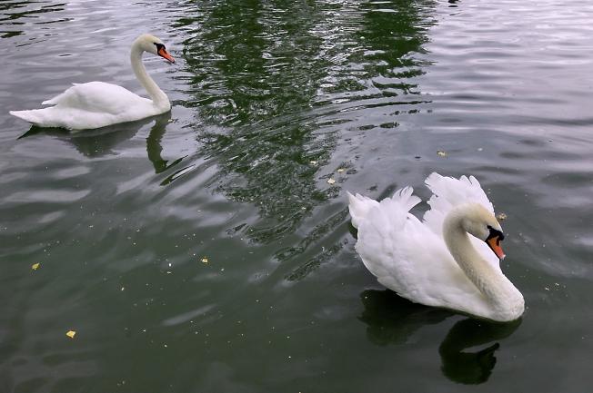 """Лебеди в """"Софрино""""."""