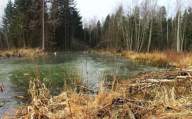 Новый бобровый пруд