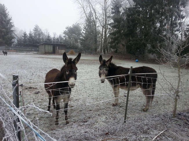 Грустные ослики ждут новогодних подарков