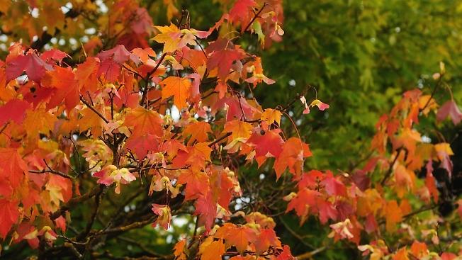 Осень. Клён.