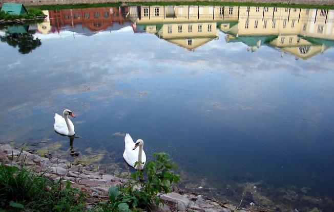 Лебеди  и отражение!