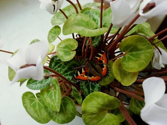 Домашняя бабочка