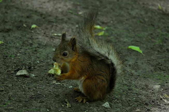 Белочка кушает яблочко