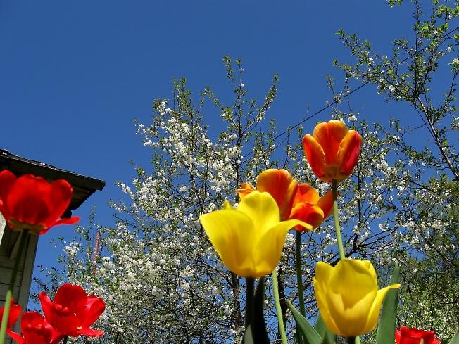 Сегодня вишни зацвели