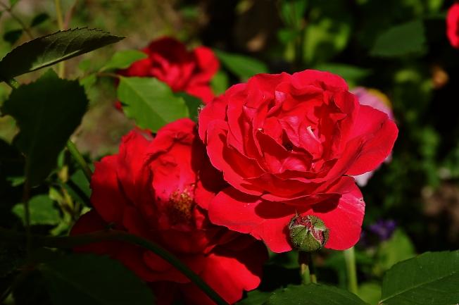 Радуют девочек розы