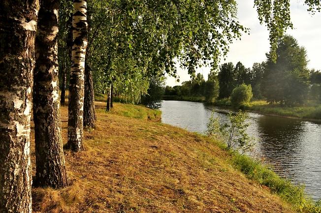 Березки вдоль пруда