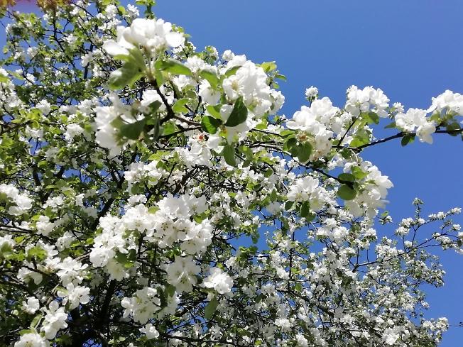 Яблони цветение