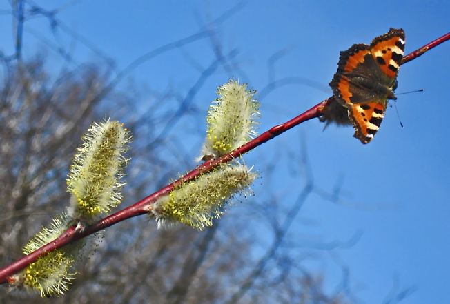 Бабочка - весна