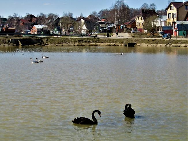 Лебеди на Келарском пруду