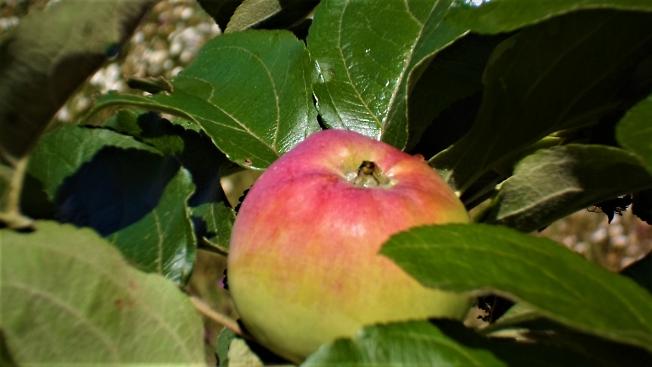 И к царевне наливное, Молодое, золотое, Прямо яблочко летит...
