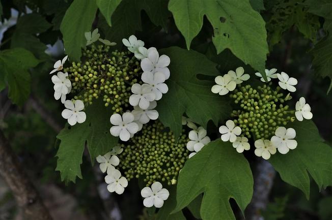 Калина цветет