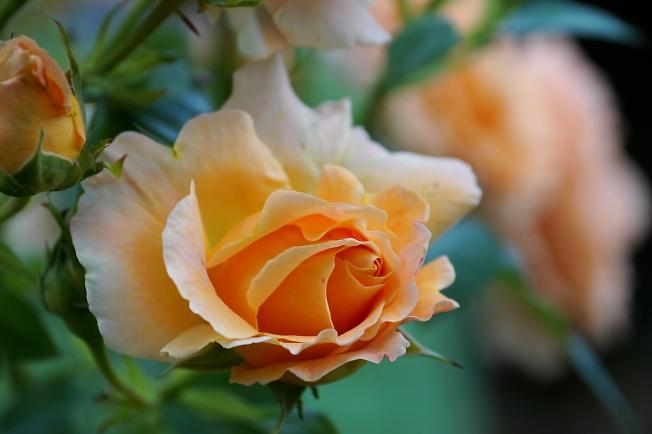 Просто Роза