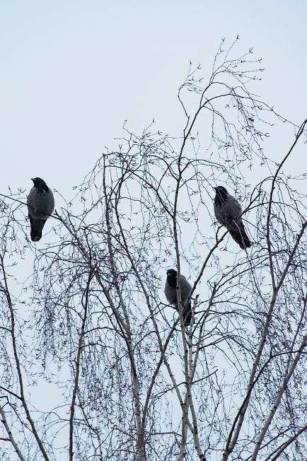 Три вороны под окном ...