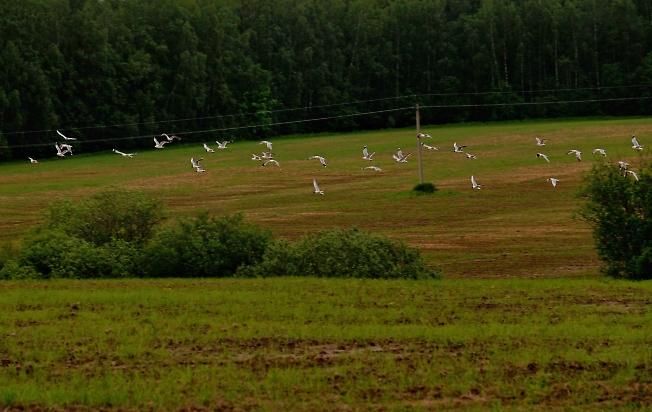 Чайки над полями