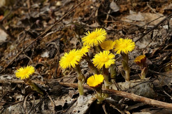 Первые цветки мать-и-мачехи.
