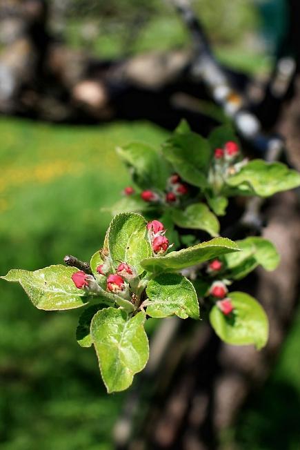 Яблоня зацветает
