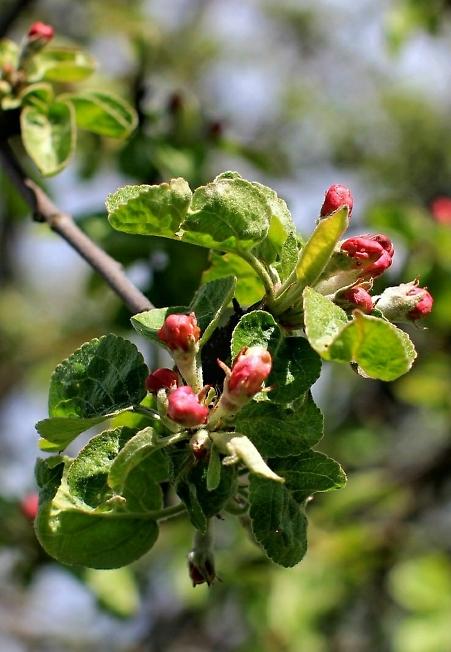 Яблоня зацветает 2