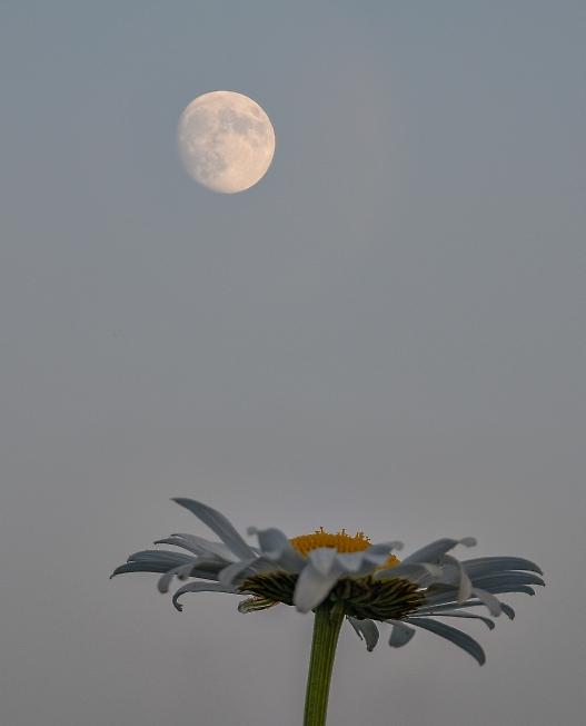 Ромашка и луна
