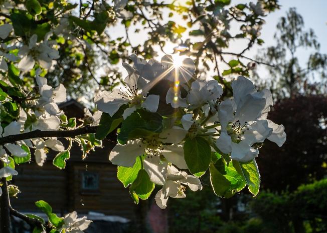 Яблонька в саду