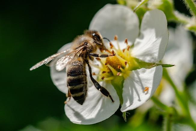 Пчёлка Майя