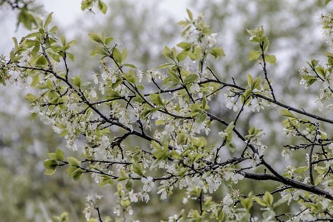 Слива цветет, снег с дождем идет. Обычный майский снег...