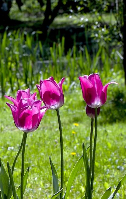 Тюльпаны на Скитских