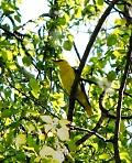 Иволга - солнечная птица.