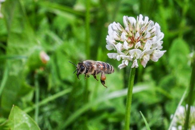 Люди рады лету, а пчела цвету