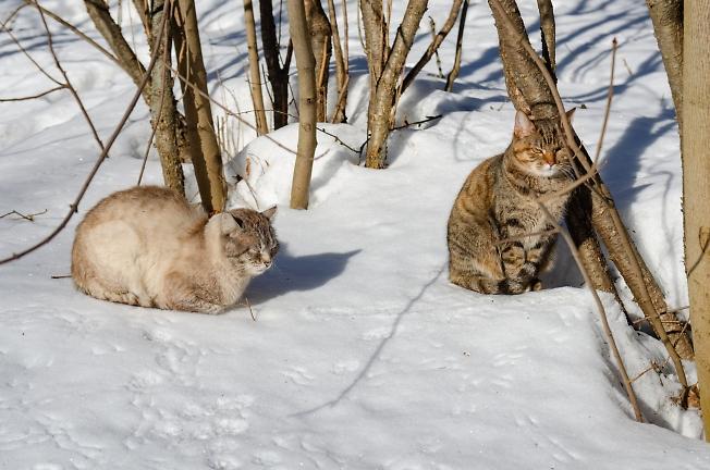 Подмосковные тигры