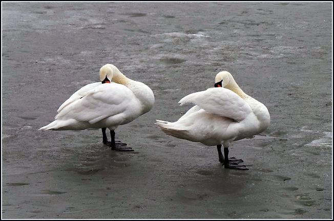 Лебеди МАГа уже на Келарском пруду :)