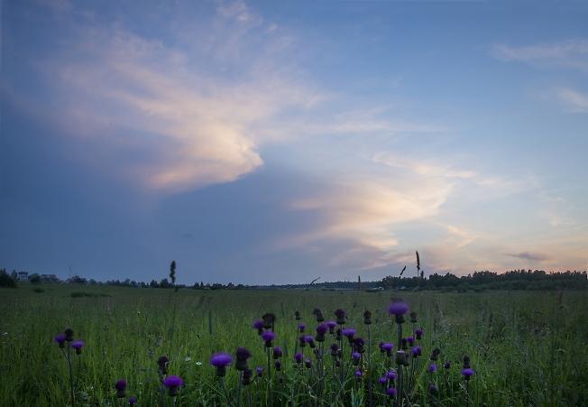 Вечер и цветущий чертополох