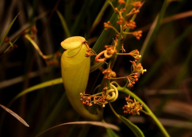 НЕПЕНТАС-цветок убийца