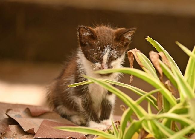 Трусливый МАДАГАСКАРСКИЙ котик