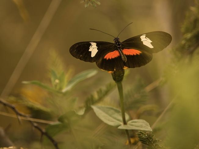 Перуанская бабочка