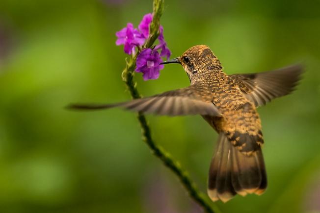Колибри (Перу)