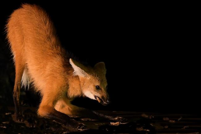 Гривистый волк(Бразилия)