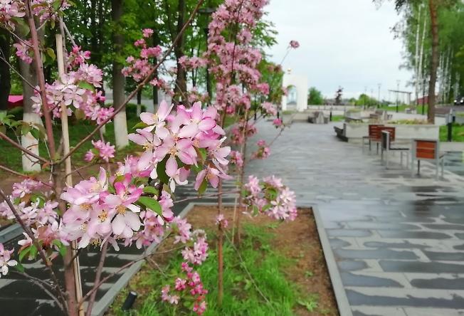 Яблоньки цветут