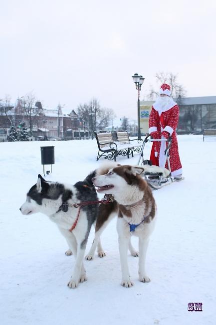 Дед мороз в санях запряженных Хаски