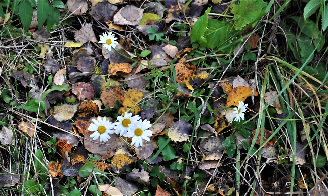 А ромашки еще  цветут