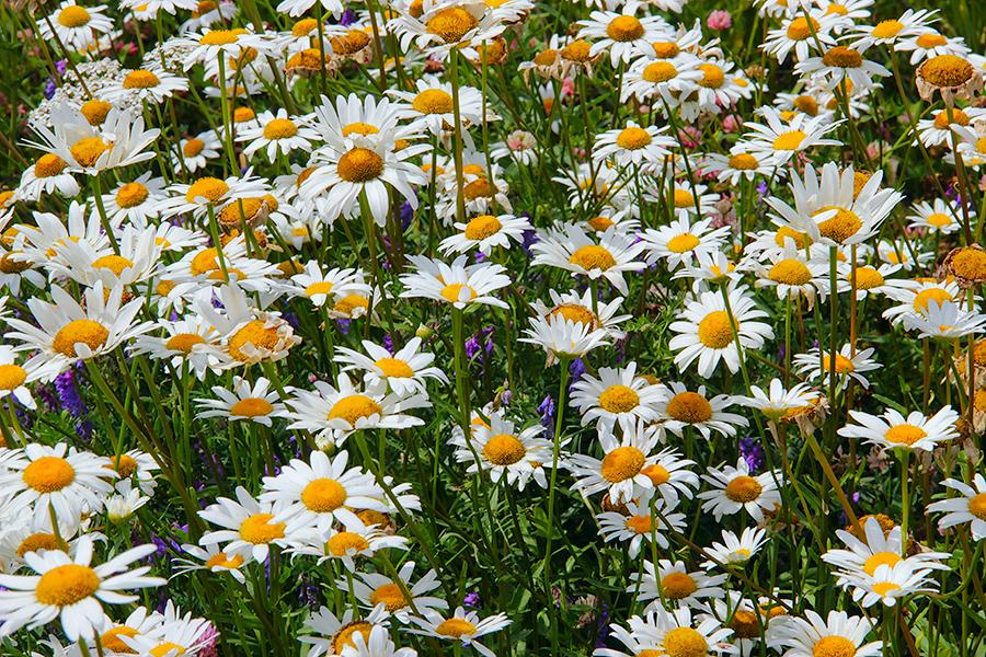 цветущий луг картинки
